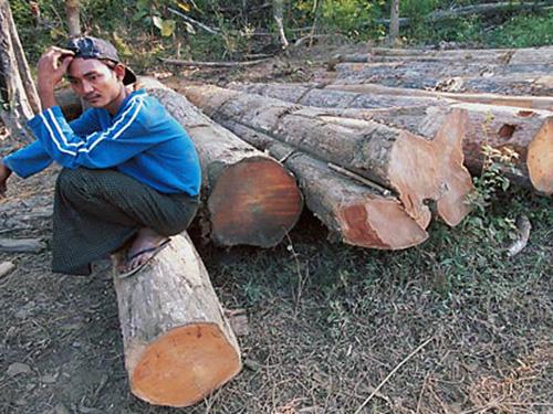 Các thợ cưa người Trung Quốc đang hủy hoại rừng Ảnh: AP