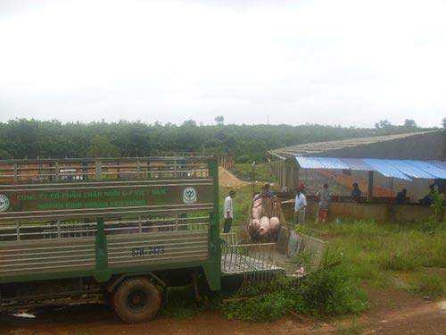 Công ty CP Chăn nuôi Bình Phước, một trong những doanh nghiệp từng khốn khổ vì bị thanh tra, kiểm tra nhiều lần Ảnh: YẾN THANH