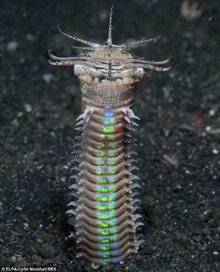 Sâu Bobbit thường tìm thấy ở các vùng đại dương nước ấm. Những con trưởng thành có chiều dàigần 3 m và những con nhỏ có chiều dài trung bình khoảng 1 m