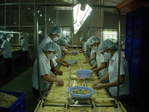 Nhà máy chế biến điều xuất khẩu đang bị áp lực giá nguyên liệu tăng cao