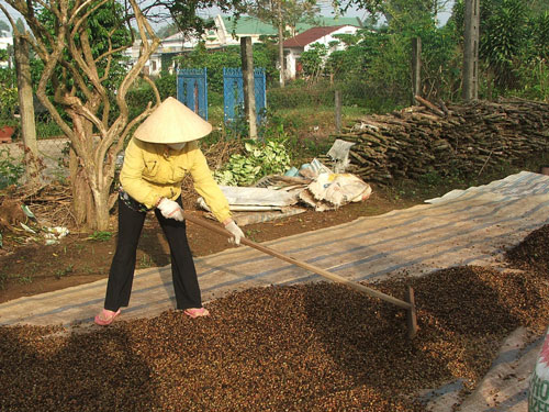 Năng suất cà phê giảm, giá thành sản xuất tăng làm ảnh hưởng đến thu nhập nông dân
