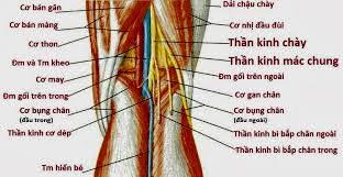 Thần kinh mác chung nhìn từ phía sau khớp gối bên phải