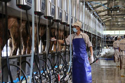 Hệ thống vắt sữa tự động hiện đại tại trang trại bò sữa Vinamilk Nghệ An