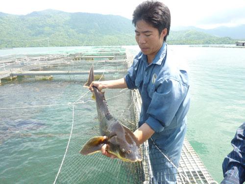 Nuôi cá tầm bằng bè tại một hồ thủy điện ở Lâm Đồng