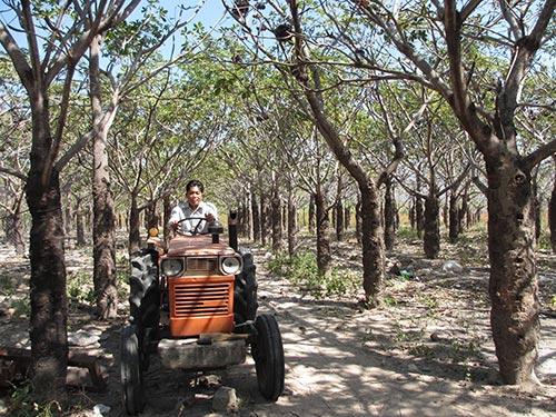 Rừng trôm nguyên liệu trên 25 tuổi của Công tyTNHH Công nghệ Vĩnh Tân