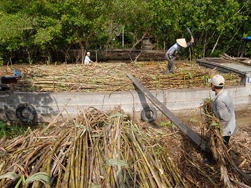 Đồng bằng sông Cửu Long đang vào mùa thu hoạch mía đường
