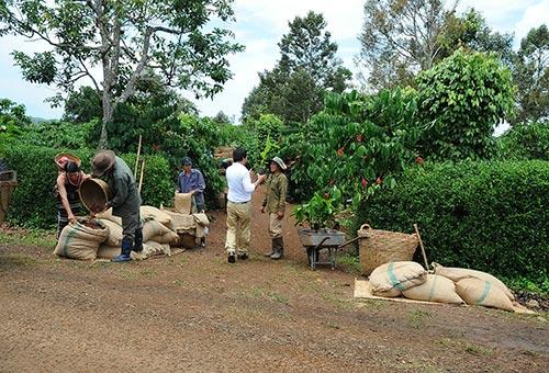 Thu hoạch cà phê tại Đắk Lắk