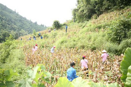 Thanh niên tình nguyện giúp dân thu hoạch nông sản