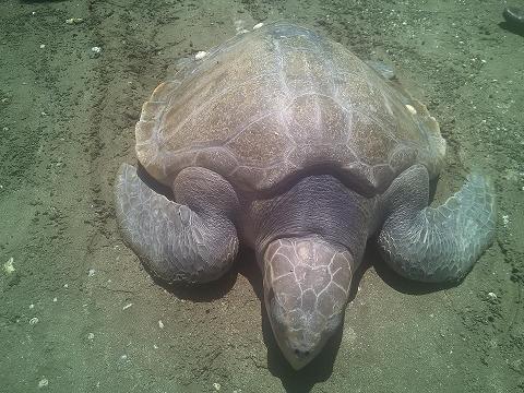 Cụ rùa khủng được ngư dân thả về biển (ảnh Nguyễn Duy)