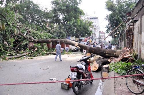 cây cổ thụ nằm trong khuôn viên nhà hàng Đông Hồ (đường Cao Thắng nối dài, quận 10) bị bật gốc nằm chắn ngang đường
