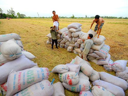 Lúa gạo của nông dân ĐBSCL luôn gặp nhiều rủi ro về đầu ra, giá bán Ảnh: NGỌC TRINH