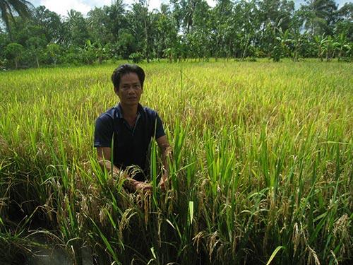 """Hơn 3 ha lúa của ông Phạm Hoàng Tiếp bị thiệt hại sau khi phun thuốc """"9 trong 1"""""""