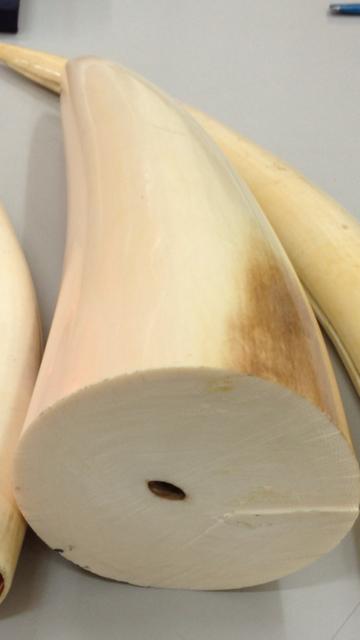 4,2 kg ngà voi trị giá 2 tỉ đồng bị Chi cục Hải quan Chuyển phát nhanh thuộc Cục Hải quan TP HCM bắt giữ