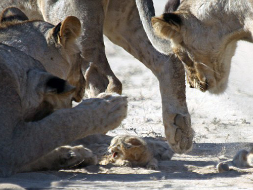 Mèo hoang tí hon kiên cường trước bầy sư tử cái