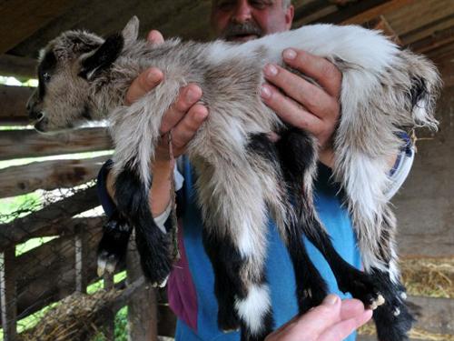 Dê con 8 chân chào đời ở Croatia