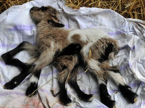 Con vật khó sống nhưng nếu nó vượt qua tuần lễ đầu đời, nó có hy vọng sống đến 3 tuổi.