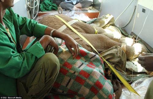 Đội cứu hộ tiêm thuốc mê đưa voi về trung tâm bảo tồn
