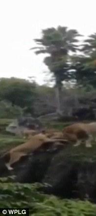 Khoảnh khắc sư tử cái cứu con