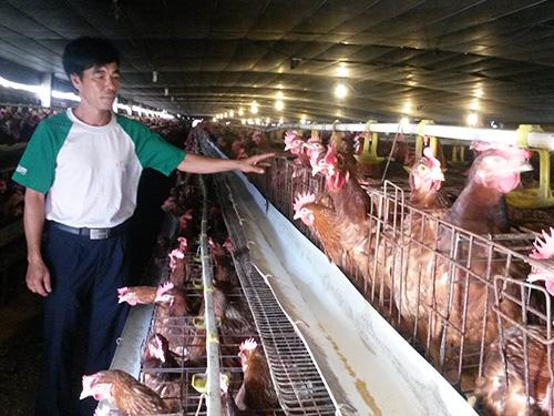 Đàn gà của gia đình ông Quang vào chiều 2-7, sau khi xảy ra sự cố điện