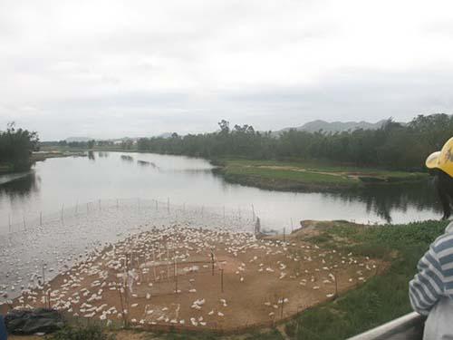 Người nuôi vịt tại huyện Duy Xuyên, tỉnh Quảng Nam, lao đao vì dịch cúm gia cầmẢnh: Hoàng Dũng