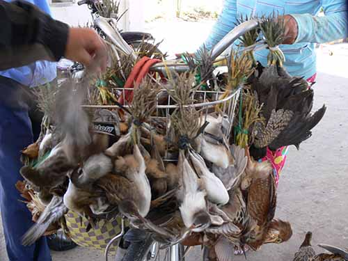 Chim, cò bị buộc trên những chiếc xe như thế này để đem bán khắp nơi ở ĐBSCL