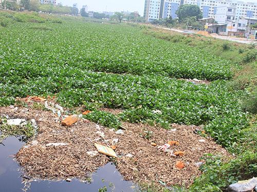 Xác lục bình chết lấp dần kênh Tham Lương và là nơi trú ngụ của ruồi, muỗi
