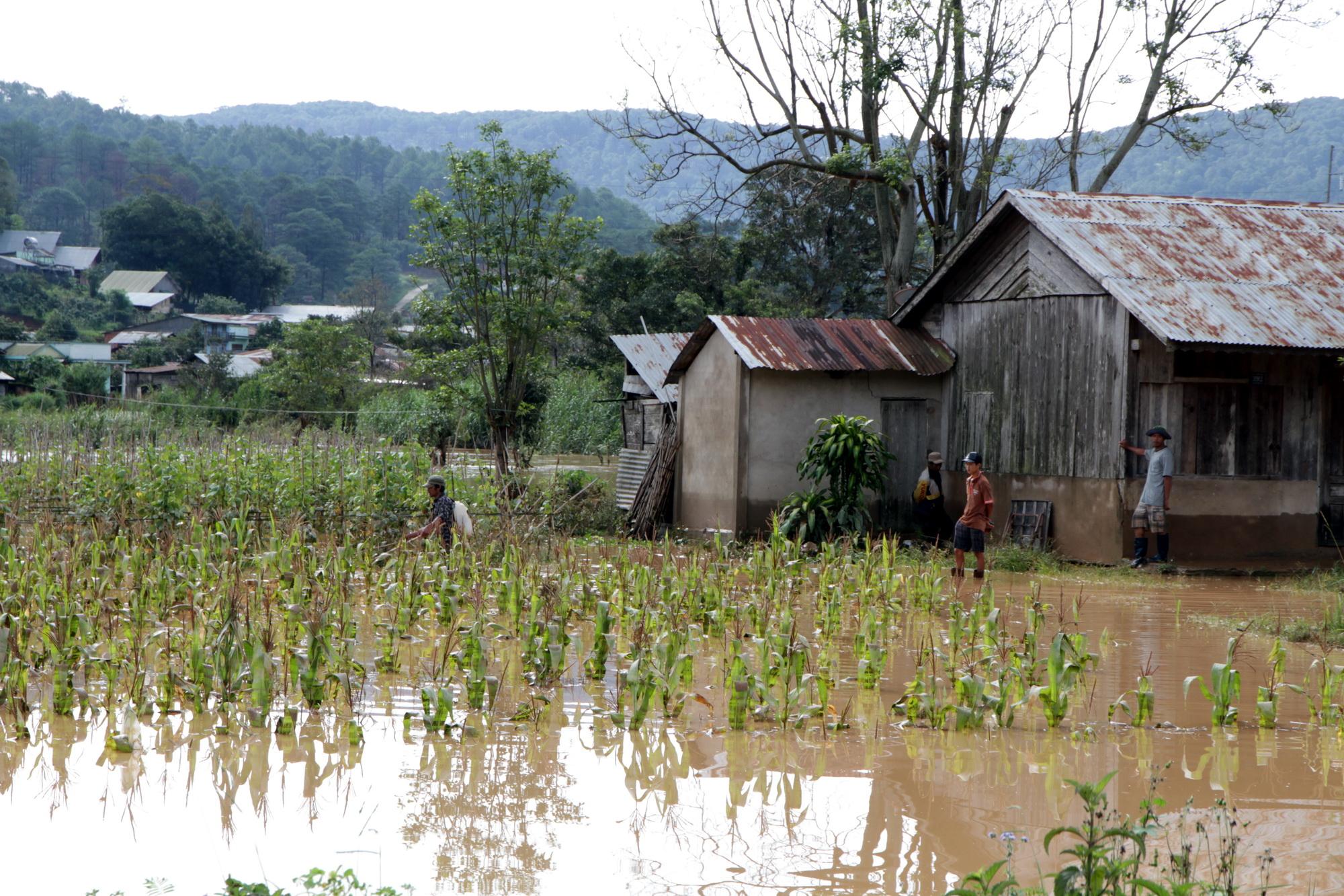 Bắp đang chờ thu hoạch cũng bị nước lũ nhấn chìm