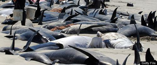 Một đàn cá voi mắc cạn ở biển New Zealand