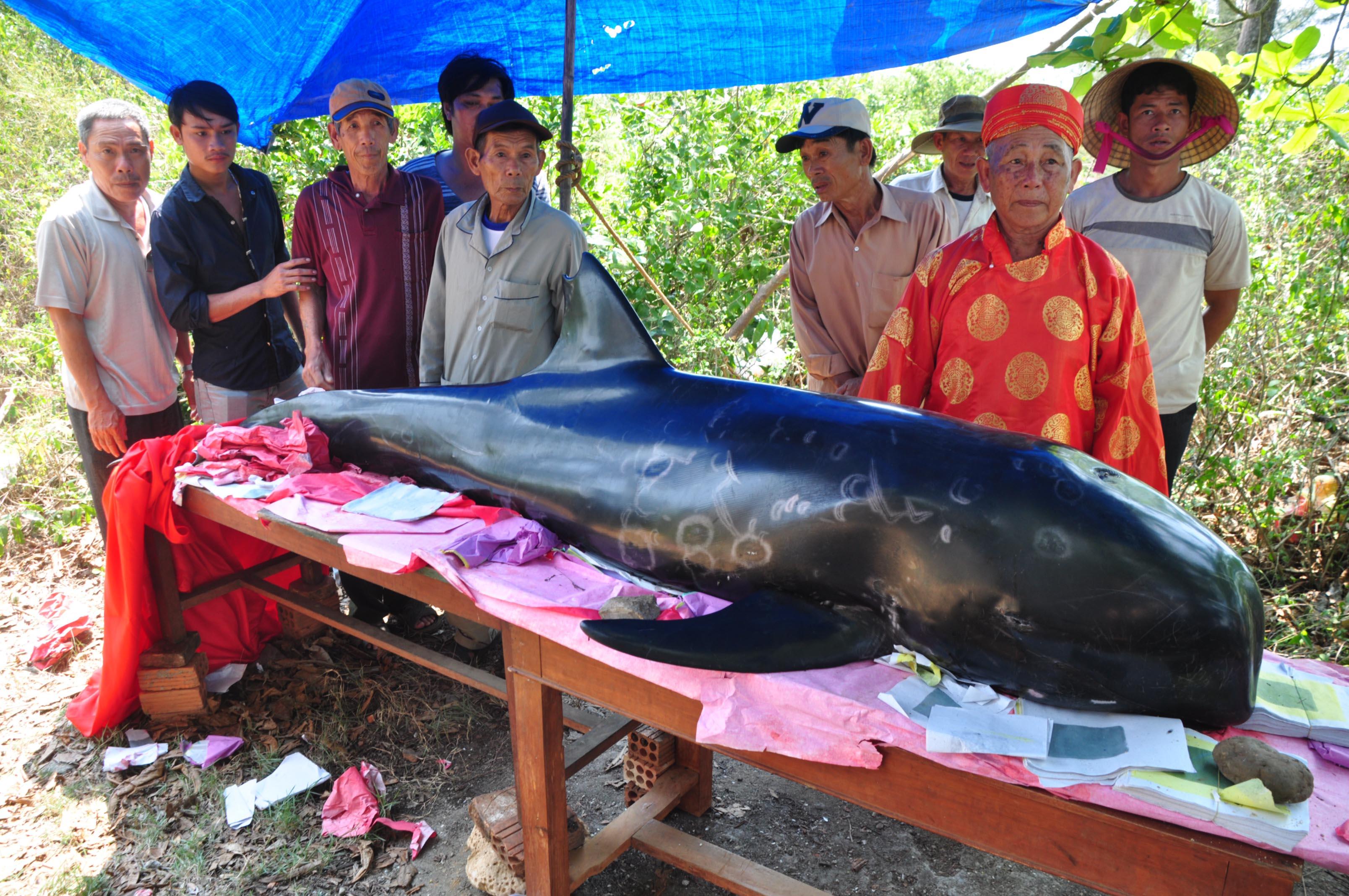 Ngư dân địa phương đưa cá Ông vào Lăng Ông Nam Hải thờ cúng. Ảnh: Tử Trực
