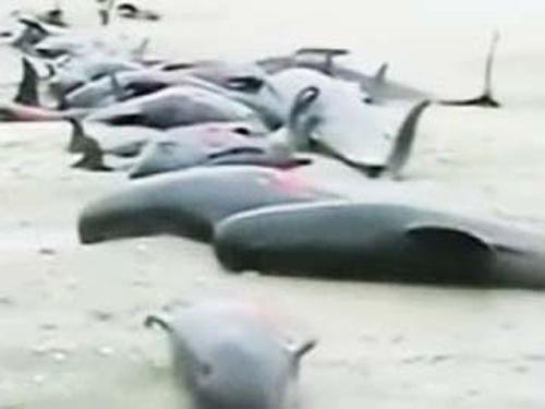 13 cá voi hoa tiêu mắc cạn