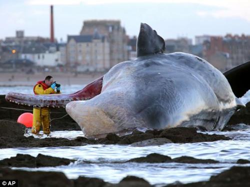 Mực khổng lồ 150 kg mắc lưới