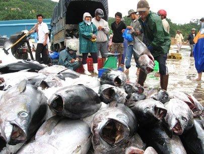 Một tàu câu cá ngừ của Phú Yên đang tập kết hàng tại cảng. Ảnh: Phạm Ngọc Chung.