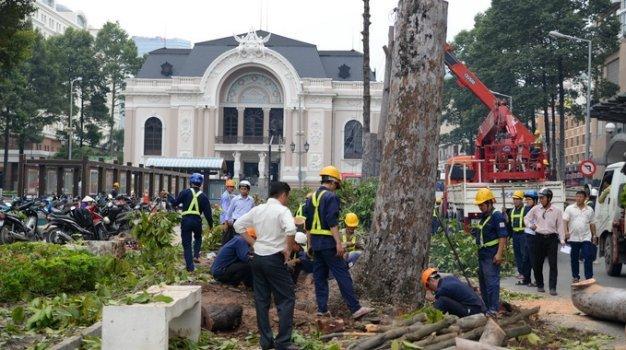 Những cây cổ thụ bị đốn trước Nhà hát TP HCM - Ảnh: Hữu Khoa