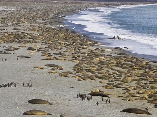 Cánh cụt, hải tượng chen nhau mùa giao phối
