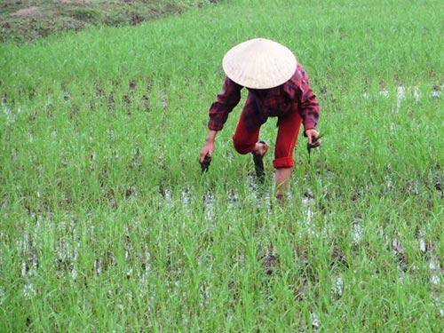 Mới mùng 3 Tết, người dân vùng lũ Tĩnh Gia, Thanh Hóa đã ra đồng giặm lúa