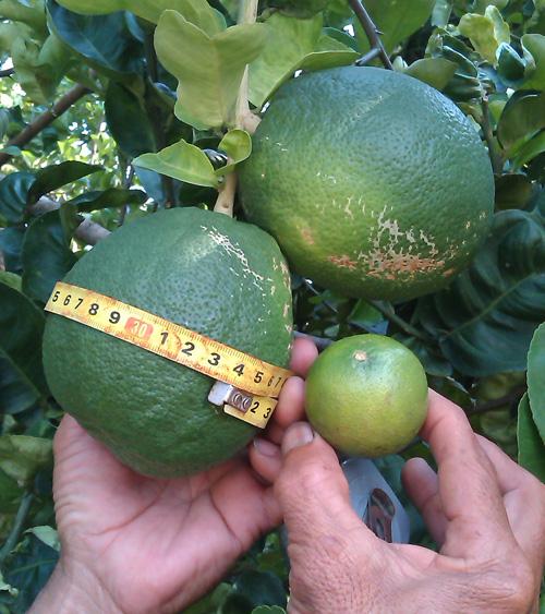 So sánh trái chanh lạ với trái chanh thông thường.