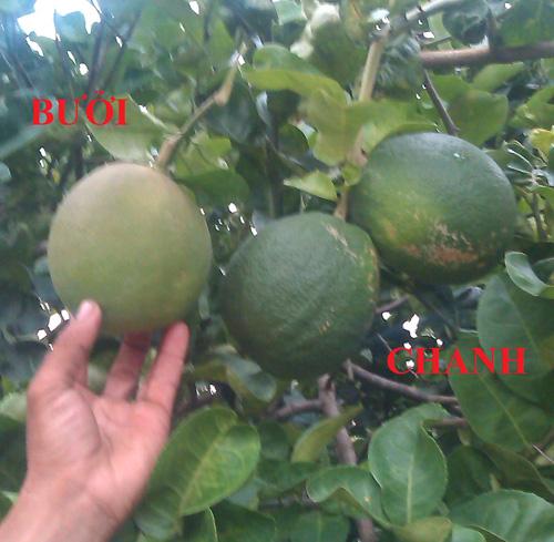 So sánh trái chanh lạ với trái bưởi thông thường (bìa trái)
