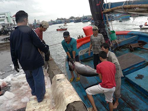 Ngư dân tranh thủ bán cá ngừ vừa đánh bắt được để đưa tàu vào nơi trú ẩn Ảnh: ANH TÚ