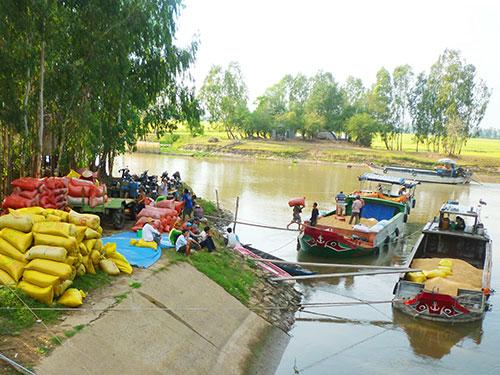 Thương lái thu mua lúa tươi của nông dân ĐBSCL