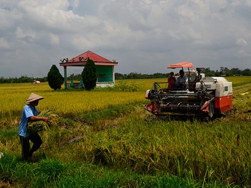 Cánh đồng lúa Ma Lâm ở huyện Mang Thít, tỉnh Vĩnh Long