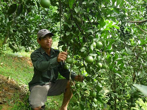 Anh Phạm Ngọc Thưởng chăm sóc vườn cam của mình
