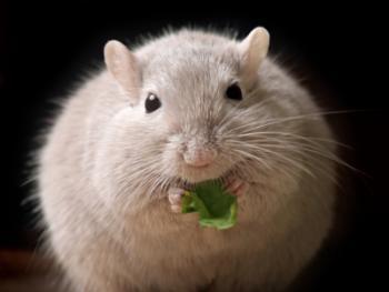 Chuột béo phì do phơi nhiễm kháng sinh từ trong bụng mẹ Ảnh: MNT