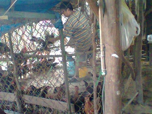 Chuồng gà sống chưa qua kiểm dịch của lò giết mổ gia cầm chui bên hông chợ Bà Bộ