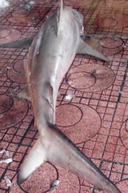 Con cá mập dài hơn 1,8 m, nặng khoảng 80 kg, vừa dính vào lưới lồng của ngư dân Bình Định, sáng 25-5