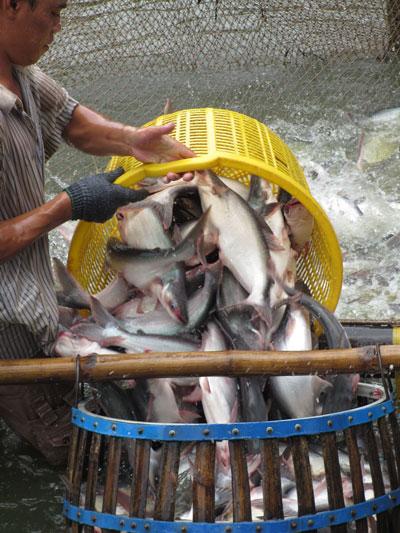 Xuất khẩu cá tra của Việt Nam sang thị trường EU đang có xu hướng giảm Ảnh: CA LINH