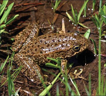 Đông y cho rằng thịt ếch có vị ngọt, tính hàn, không độc có tác dụng bổ dưỡng, cường tráng, an thai, lợi tiểu...