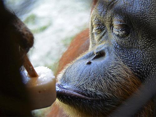 Vườn thú Brazil đãi động vật ăn kem để giải nhiệt