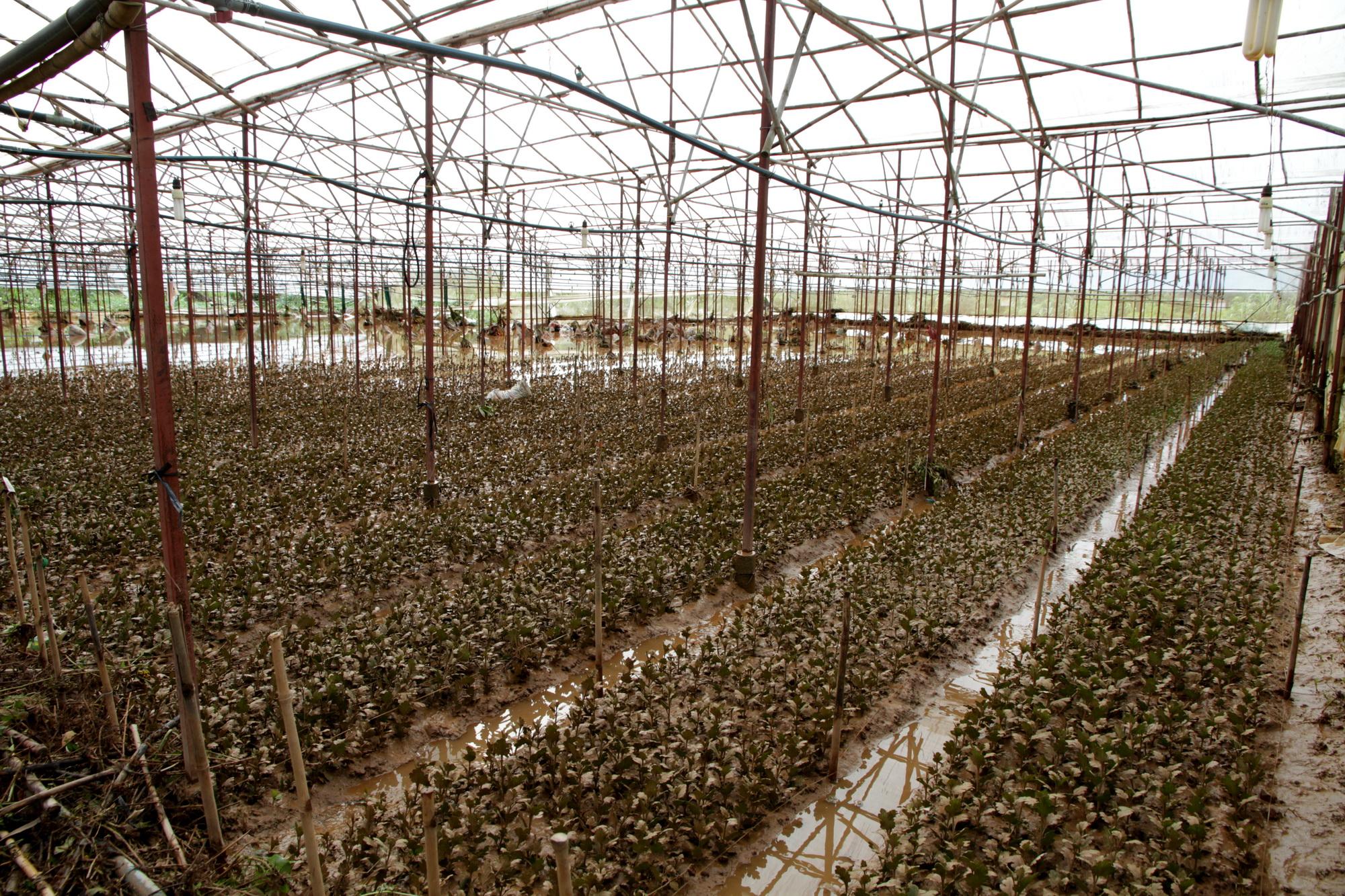 Hoa cúc vừa xuống giống ở tổ 19 bị nước lũ làm hư hại hoàn toàn