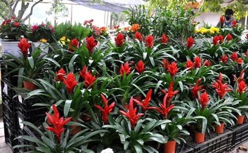 Cây Lan đuốc – Thẻ bài nhập Trung Quốc có giá rẻ hơn trồng ở Việt Nam. Tuy nhiên, các chuyên gia khuyến cáo, nhiều loại hoa của Trung Quốc sống được ít ngày hơn so với hoa được các nhà vườn trong nước trồng.