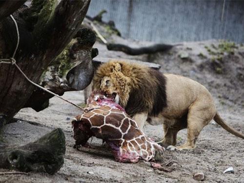 Vườn thú xả thịt hươu con cho sư tử ăn!